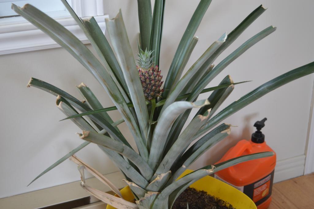 comment faire pousser un ananas au qu bec tape par tape. Black Bedroom Furniture Sets. Home Design Ideas