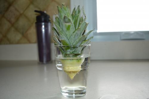 Comment faire pousser un ananas au qu bec tape par tape - Comment pousse l ananas ...