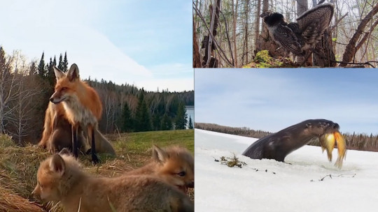 Ces caméras cachées dans la forêt québécoise captent une nature incroyable...